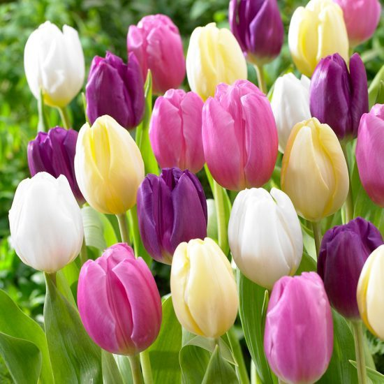4_tulip_flag_collection