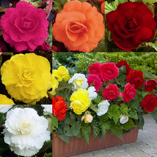 Double Begonia Collection 1013603