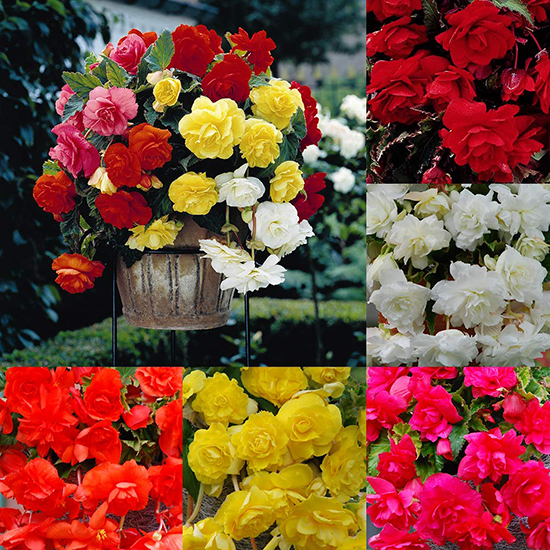 Giant Cascading Begonia Collection 1013611