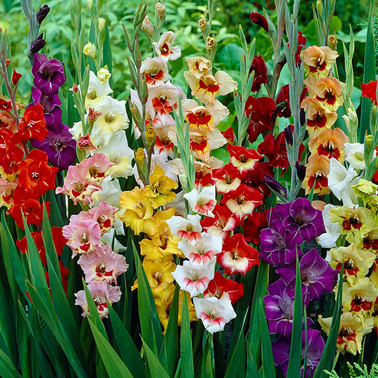 Gladioli Butterfly Mixed 1012193