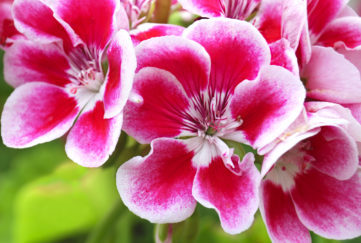 """summer bedding display, """"Red and Pelargonium (Geranium) flowers, commonly used for potting and hanging baskets"""""""