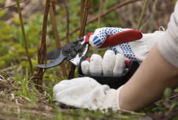 hands in gloves pruning raspberry with secateurs in the garden. strawberry runners