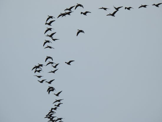 The Wild Geese take to the skies