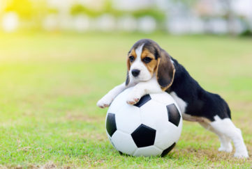 Cute little Beagle playing football in garden