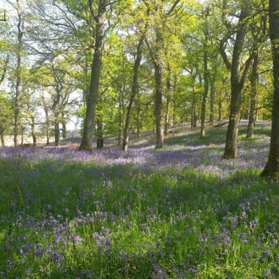 Bluebell Wal